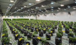 Oregon Cannabis Cultivation